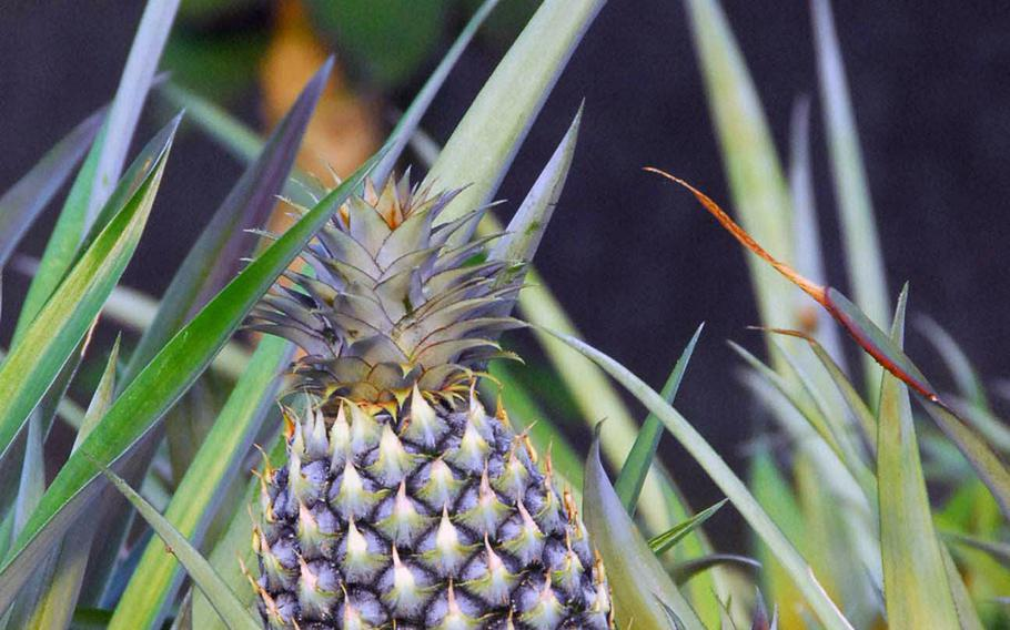 A young pineapple grows near some papaya in Okinawa World's fruit orchard.