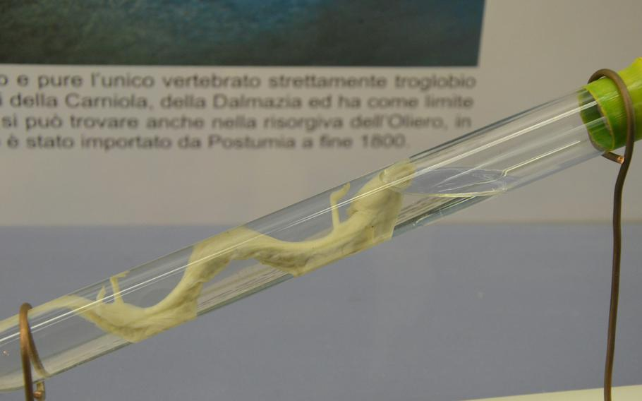 A test tube at the Fortress of Monfalcone, in Monfalcone, Italy, holds a white salamander. White salamanders were once believed to have been the offspring of dragons.