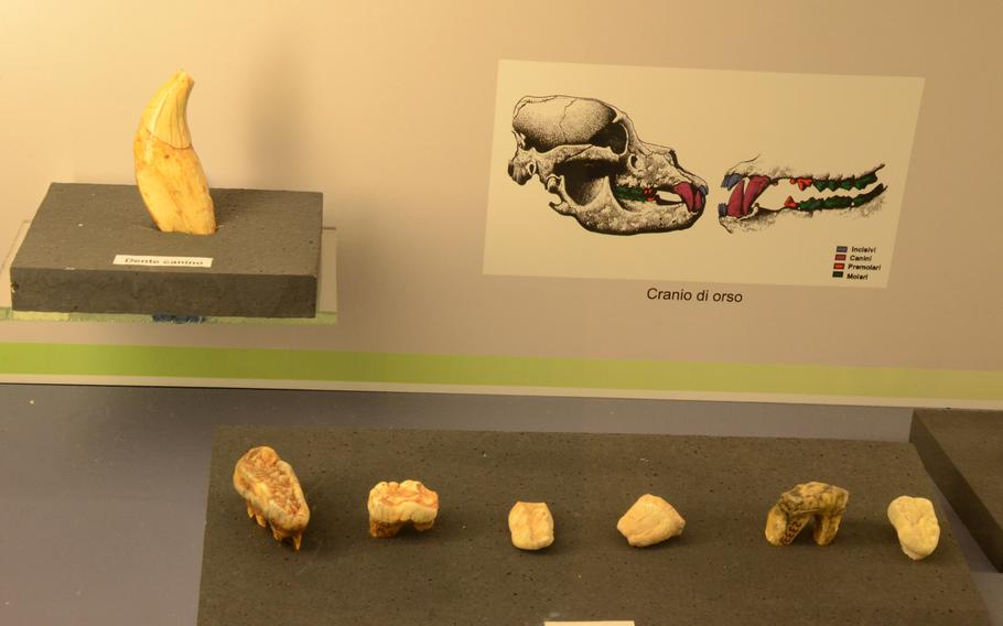 The teeth of saber-toothed tigers, which roamed the earth for almost 1.5 million years, are on display at the Fortress of Monfalcone, located on a hill above Monfalcone, Italy.
