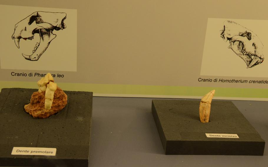 The teeth of saber-toothed tigers are displayed at the Fortress of Monfalcone in Italy.