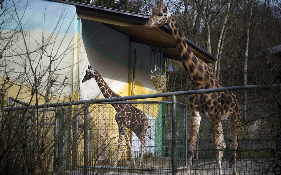 Giraffes take a walk at the Neunkirchen Zoo in Germany. Visitors can go inside the enclosure to get an up-close look.