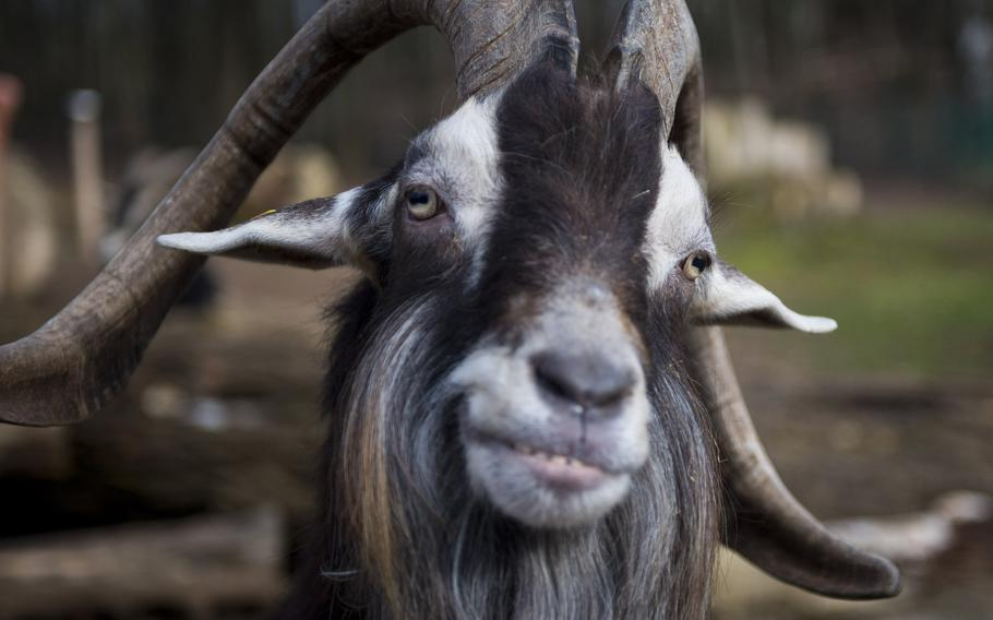 A Thuringian goat at the Neunkirchen Zoo in Germany is ready for its close up.