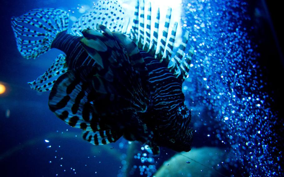 A lionfish swims in its tank at Sea Life in Speyer, Germany.