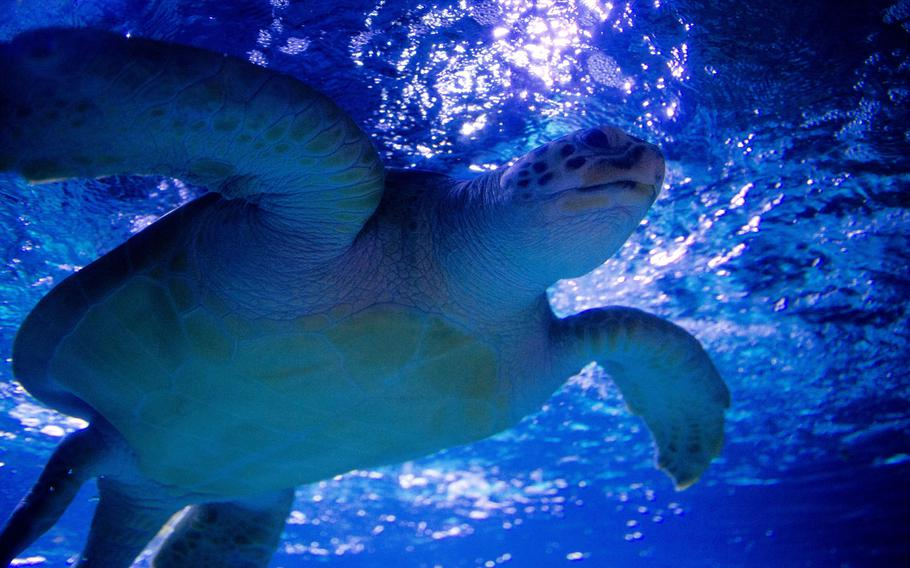 Marty, a green sea turtle, swims overhead at Sea Life in Speyer, Germany.