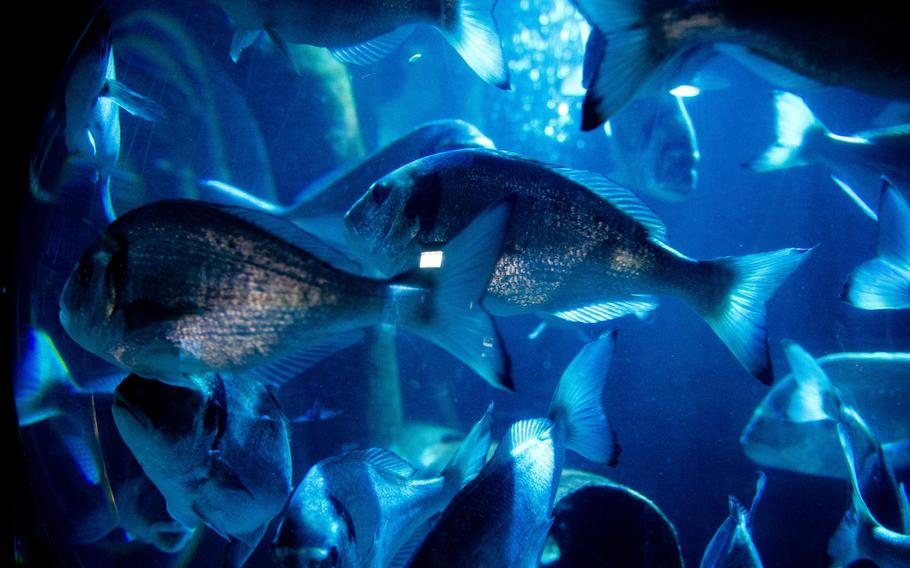 A school of fish swim in their tank at Sea Life.