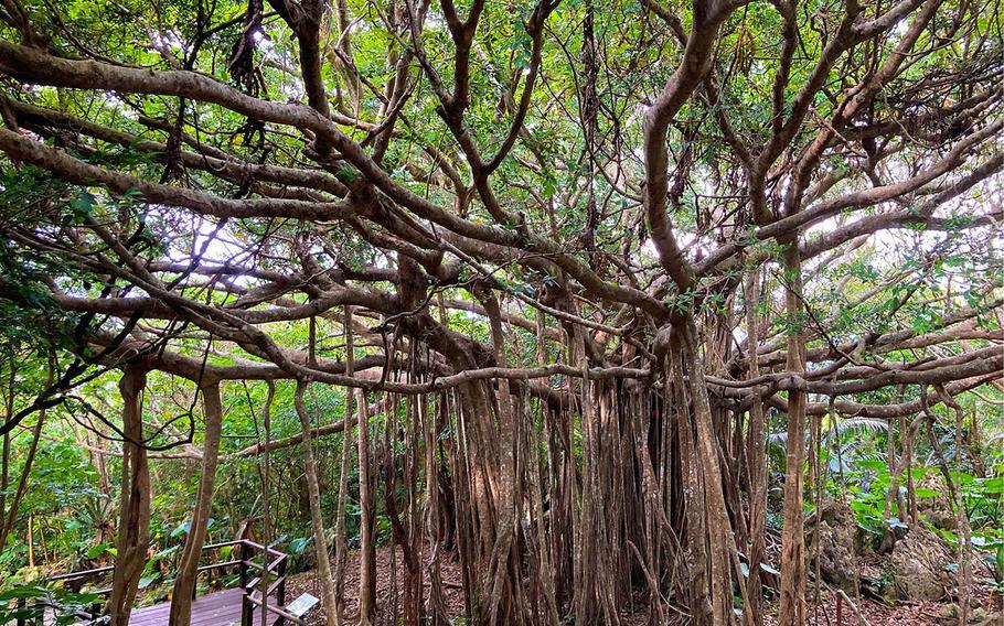 The forest trail at Yanbaru National Park Daisekirinzan on Okinawa features several 100-year-old banyan trees.