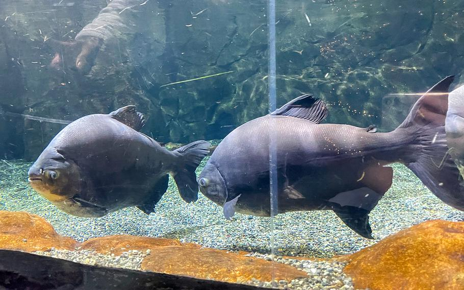 A pair of piranha greet visitors to Sea Life Busan Aquarium in South Korea.
