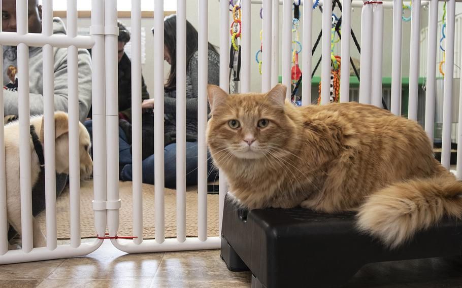 """Cider, a resident cat at the Warrior Canine Connection in Boyds, Maryland, observes the cast of the new TV show """"The Village,"""" visit with the puppies on November 10, 2018. The cast there to learn about service dogs and their role helping veterans. The show will air in 2019. Cider was supposed to be a barn cat - but instead chose to live inside the puppies."""