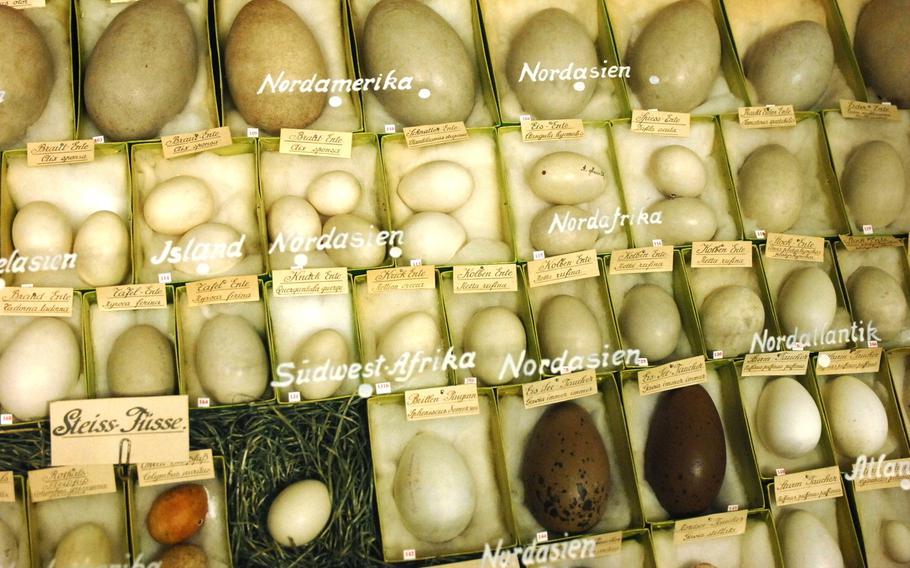 A collection of exotic eggs collected by naturalist and museum benefactor Carl Wenglein is displayed at Stadtmuseum Schwabach in Schwabach, Germany, on June 28, 2013. The museum, located near Nuremberg, features artifacts from World War II and the city's gold industry, among other items.