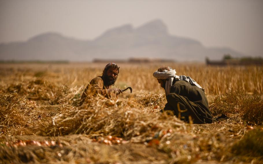 Farmers in the Zhari district of southern Afghanistan's Kandahar province harvest onions on Oct. 21, 2013.
