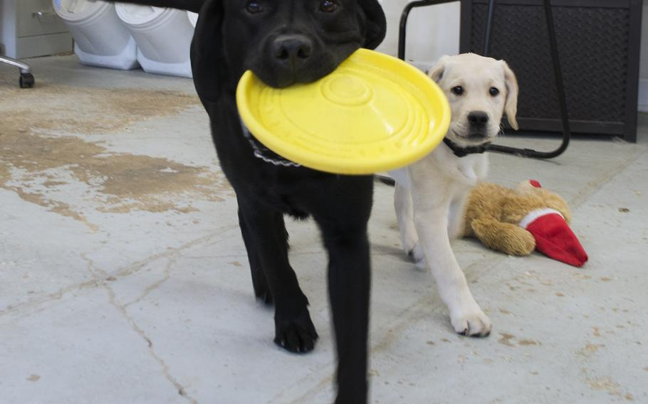 Derek, a dog-in-training at the Warrior Canine Connection in Maryland and part of the Honor Litter, plays with puppy Quail in February 2015.