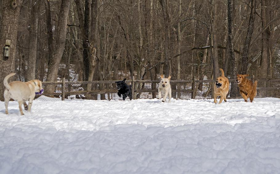 Dogs play outside the Warrior Canine Connection in Maryland in February 2015. Running towards the frame, from left to right, is Derek, Olive, Ron and Huff.