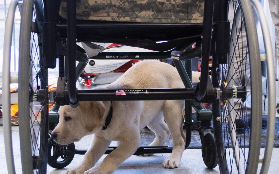 Quail, a new puppy at the Warrior Canine Connection, crawls under an unused wheel chair in February 2015.