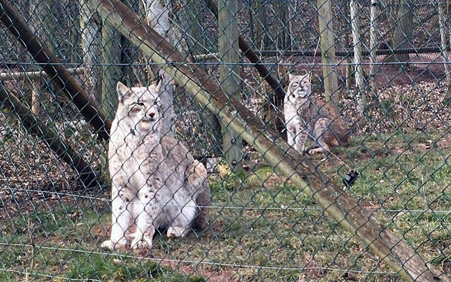 You can get a close-up view of a family of lynxes at the Wildlife Park in Tripsdrill, Germany, where there are daily feedings.