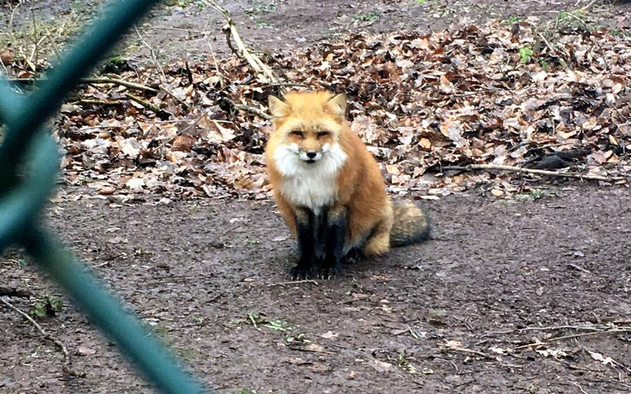 This red fox likes to observe the people passing by at the Wildlife Park, which is about 100 acres and has 40 types of animals.