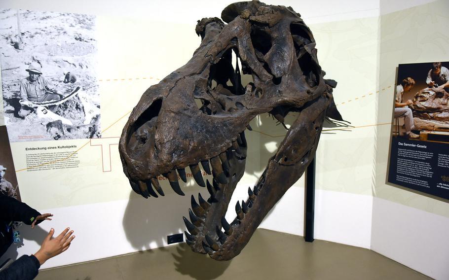 Little hands bravely reach towards the giant skull of the formidable Tyrannosaurus rex at Gondwana - Das Praehistorium, an interactive museum about prehistoric times near Kaiserslautern, Germany.