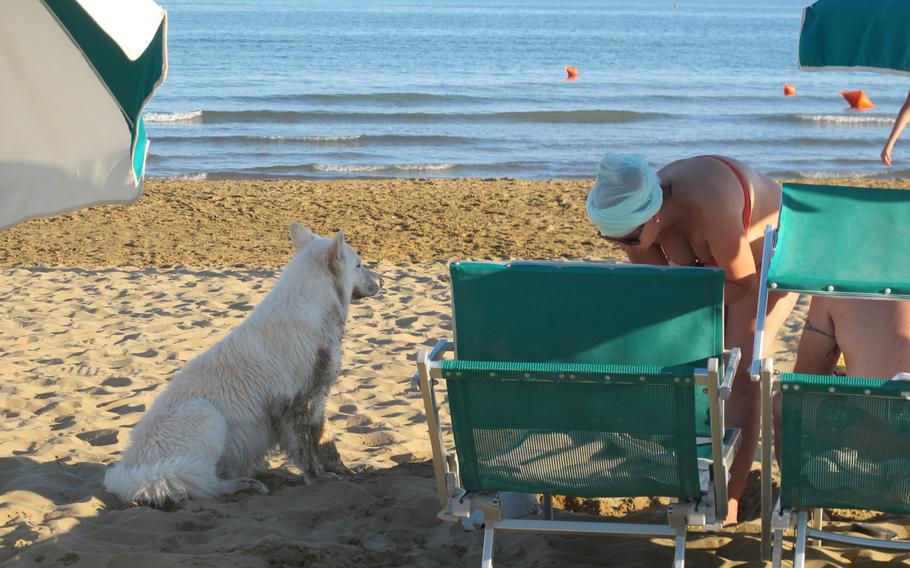 Bau Bau Beach in Jesolo, Italy, caters to canines and their owners. Beach entry price is variable. Here, a white dog's owner has sprung for the premium front row of chairs.