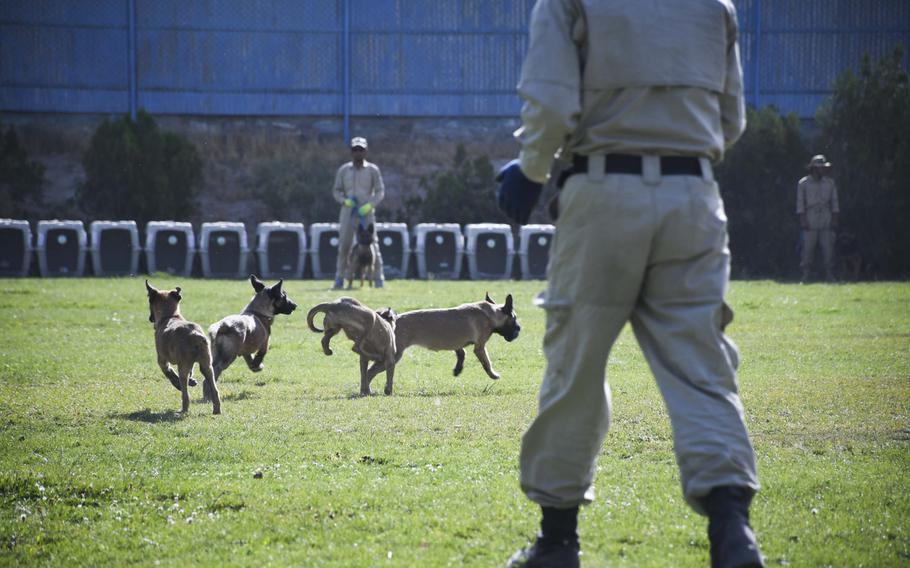 Trainers let loose puppies to run around a field at the Mine Detection Center in Kabul, a program that began as a U.S funded pilot program in 1989 and has cleared more than 170 million square meters of minefields. The program has 140 mine detection dogs trained to sniff out mines.