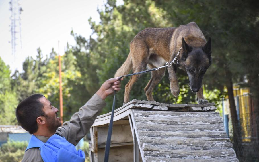 Trainer Zia u din guides Virkerikki, a mine detection dog, through an obstacle course as part of training at the Mine Detection Center in Kabul, a program that began as a U.S.-funded pilot program in 1989.