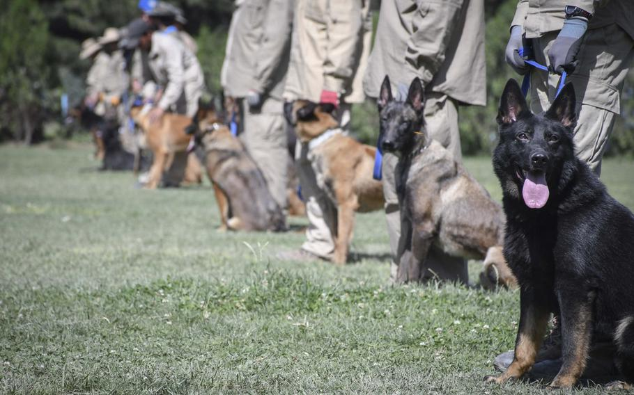 Mine-detection dogs present themselves for training at the Mine Detection Center in Kabul, Afghanistan. The program has 140 mine detection dogs trained to sniff out mines.