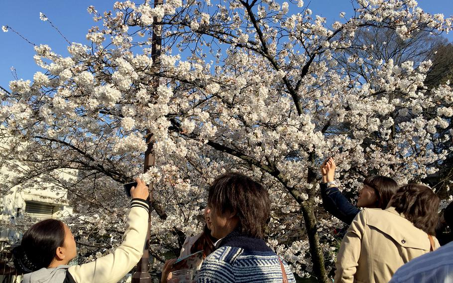 Tokyo's Inokashira Koen is a famous spot for hanami, or cherry blossom viewing, and is even included in the Japanese government's list of the 100 best hanami locations in Japan.