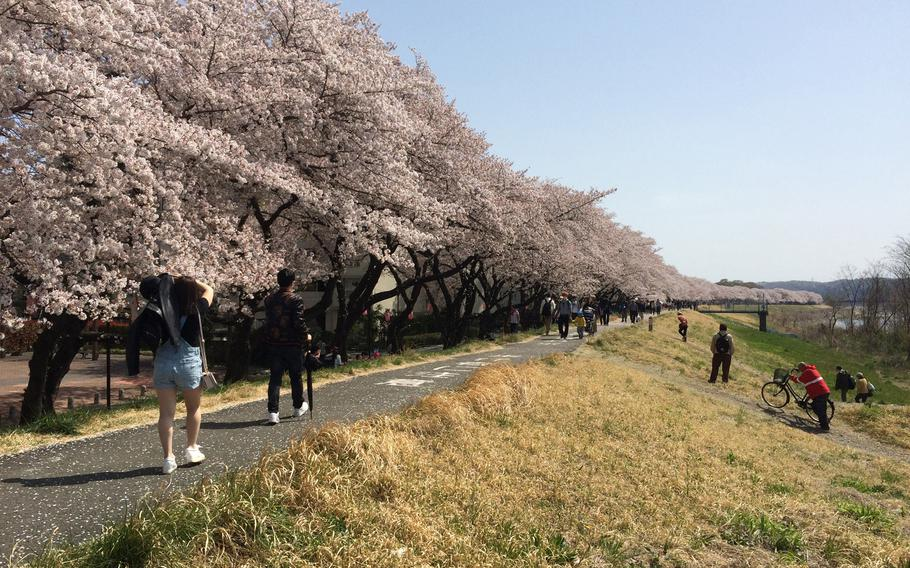 A section of the Tama River Trail near the city of Hamura in Western Tokyo is a popular cherry blossom-viewing spot.
