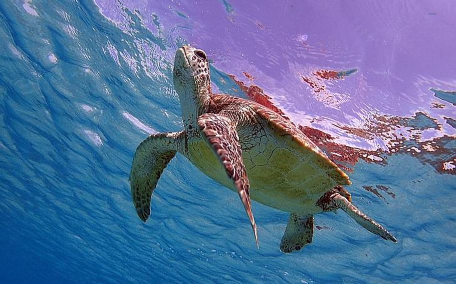 At Tokashiku Beach, tourists can experience a once-in-a-lifetime opportunity to swim with sea turtles.