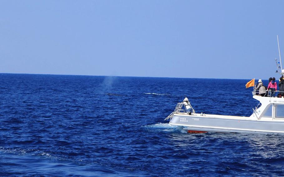 A variety of operators, including the Zamami Whale Watching Association, offer whale watching excursions near Okinawa.