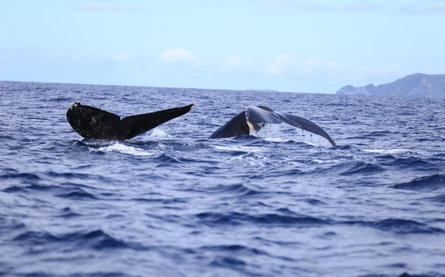 Every year, humpback whales migrate to the temperate waters near Okinawa to give birth to their calves.