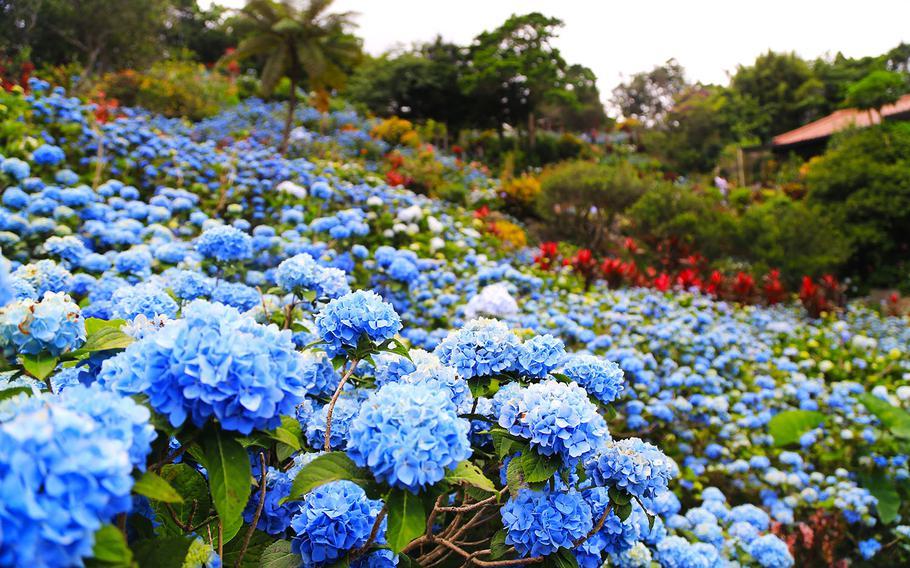 Visitors from around the world flock to see the 10,000 hydrangeas at Yohena Hydrangea Garden on Okinawa.