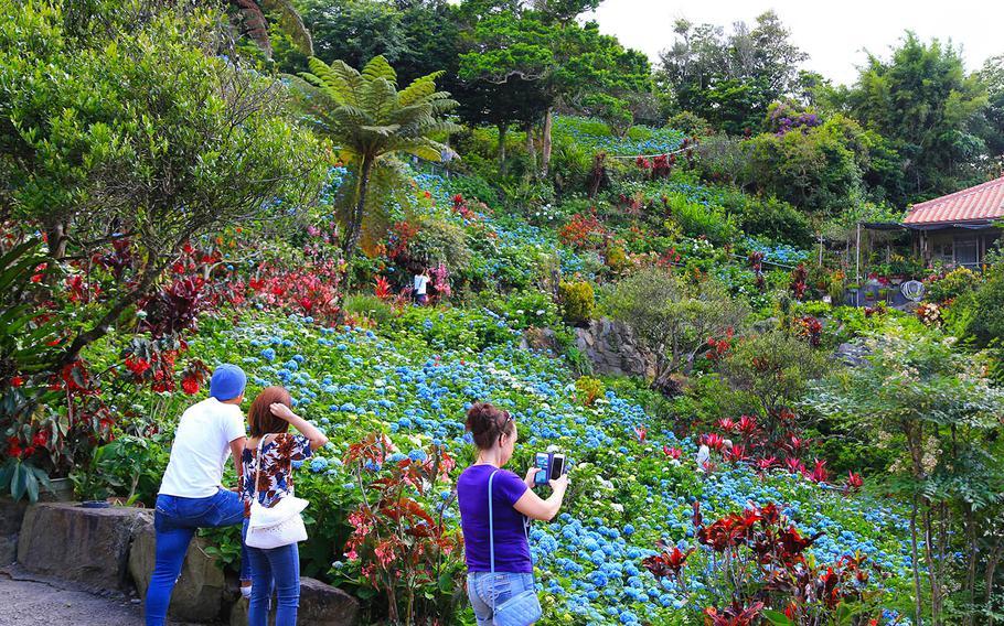 Visitors from around the world flock to see the hydrangeas at Yohena Hydrangea Garden on Okinawa.