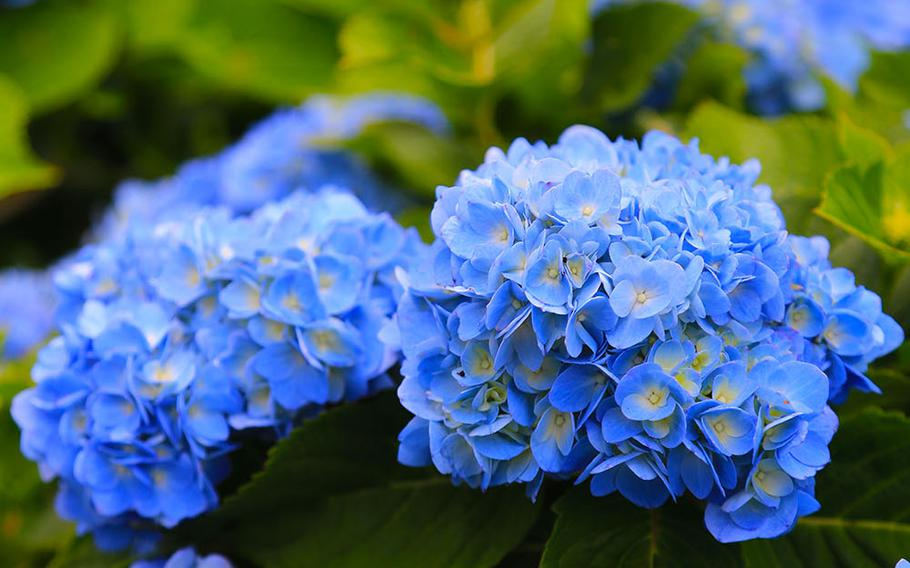 The soil composition determines the color of a hydrangea. If the soil is acidic, the flower turns blue; but if the soil is neutral to alkaline, the flower turns pink.