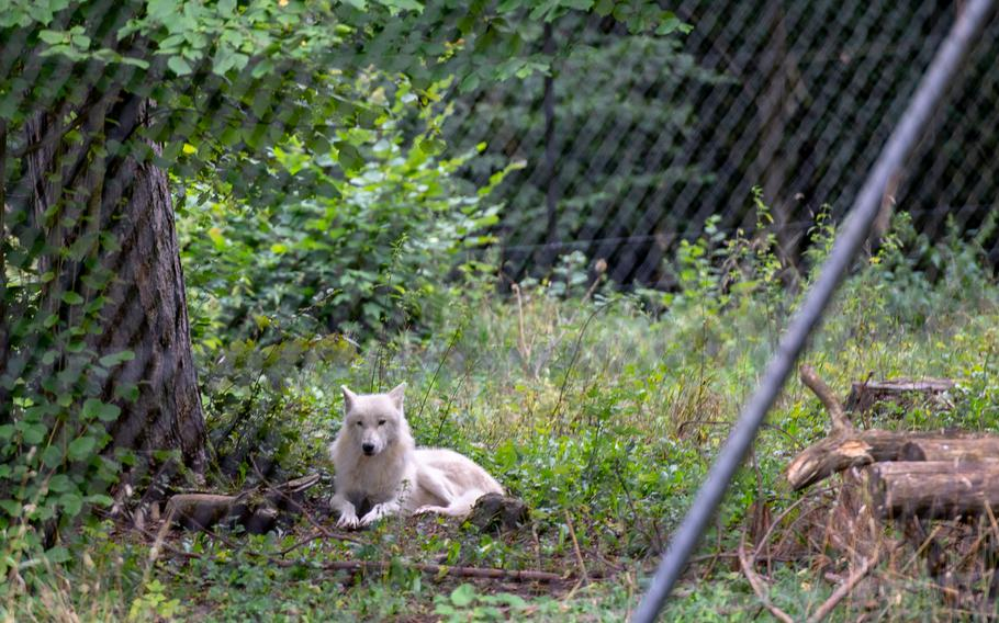 An arctic wolf rests under a tree in the wildlife park at the Domain of the Caves of Han.