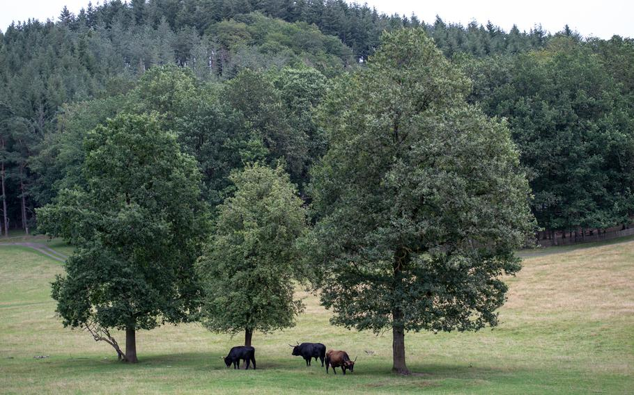 Highland cattle graze under trees in the wildlife park at the Domain of the Caves of Han.