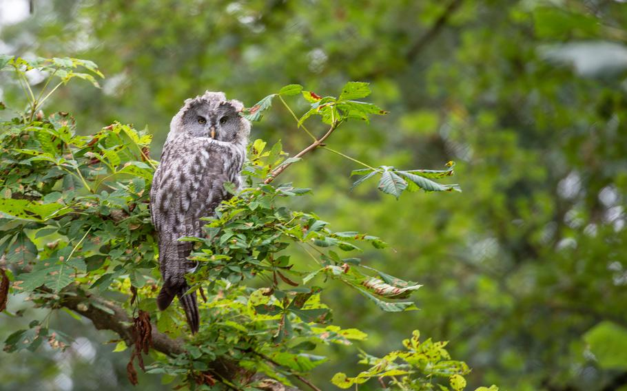 An owl turns its head to check the surroundings at the Domain of the Caves of Han, Han-sur-Lesse, Belgium, Aug. 17, 2019.