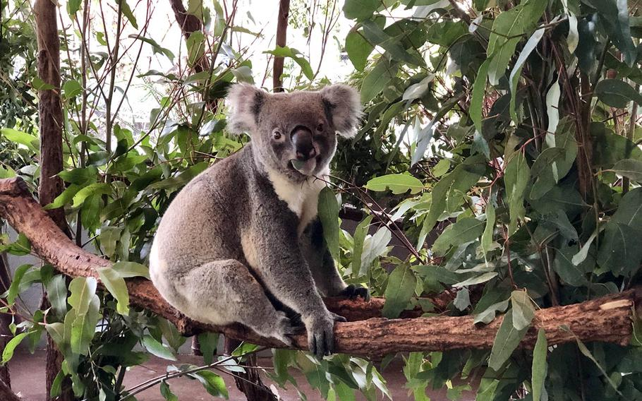 A koala perches among the eucalyptus at Lone Pine Koala Sanctuary near Brisbane, Australia, July 7, 2019.