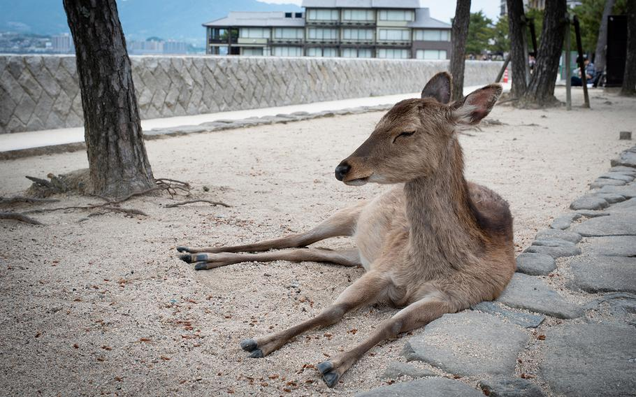 Many of the wild deer that walk the streets of Miyajima are friendly enough to pet.