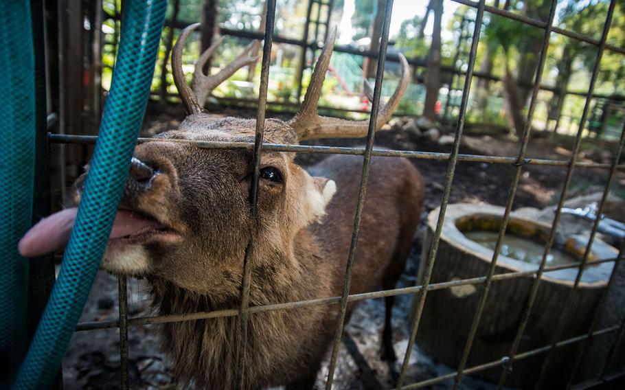 A sika deer says hello at Hamura Zoo near Yokota Air Base, Japan, Oct. 9, 2019.   Theron Godbold/ Stars and Stripes