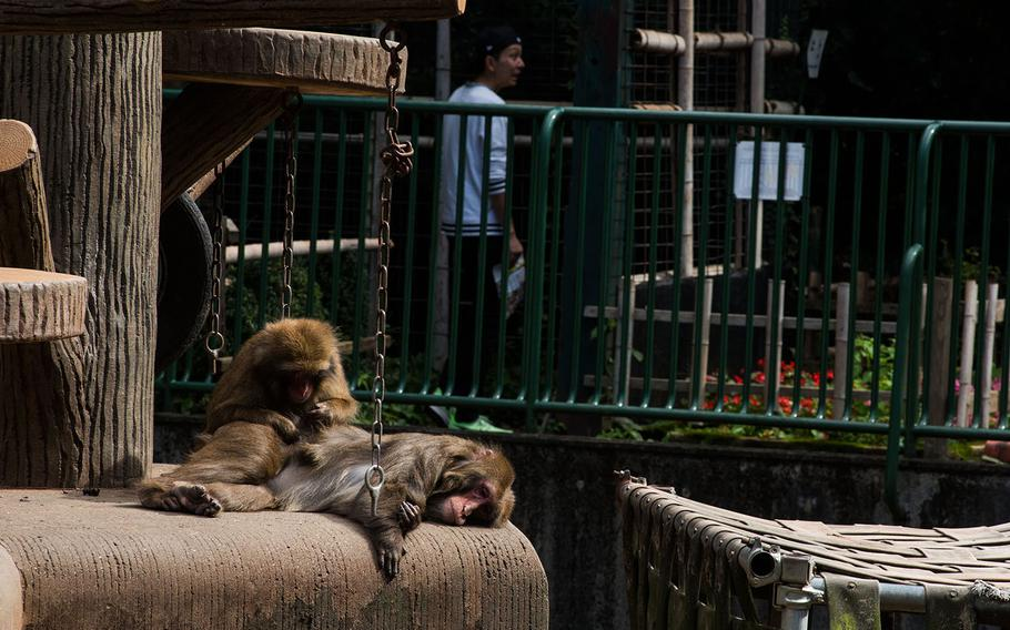 Japanese macaque lounge inside their enclosure at Hamura Zoo in western Tokyo, Oct. 9, 2019.  Theron Godbold/ Stars and Stripes