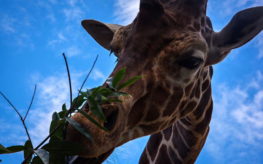 A giraffe is fed by a visitor at Hamura Zoo near Yokota Air Base, Japan, Oct. 9, 2019.  Theron Godbold/ Stars and Stripes
