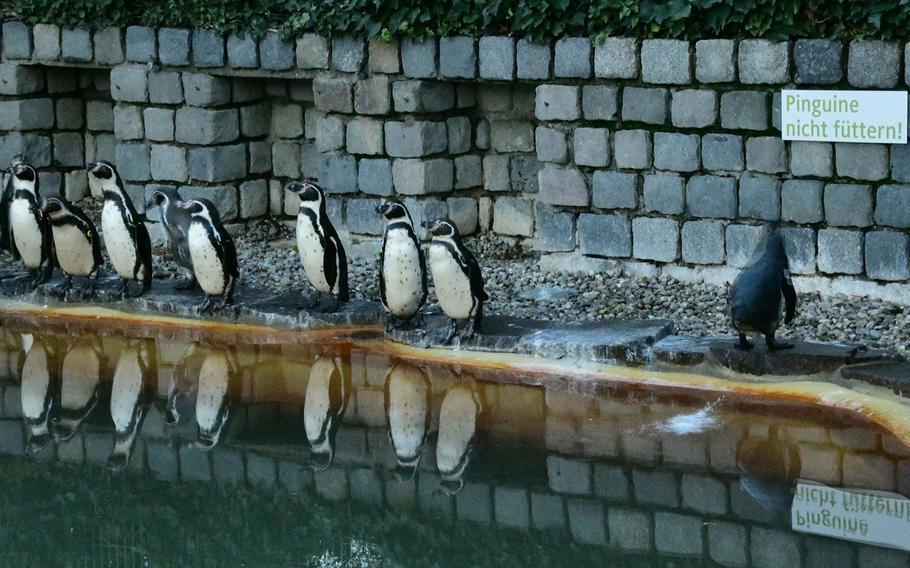 One penguin faces the opposite way to the others and poops into the water at the Humboldt penguin enclosure in the Luisenpark in Mannheim, Germany. A visit to see the penguins is a good reward for children who hang their pacifiers on the nearby Schnullerbaum - literally pacifier tree - as they try to kick the habit.