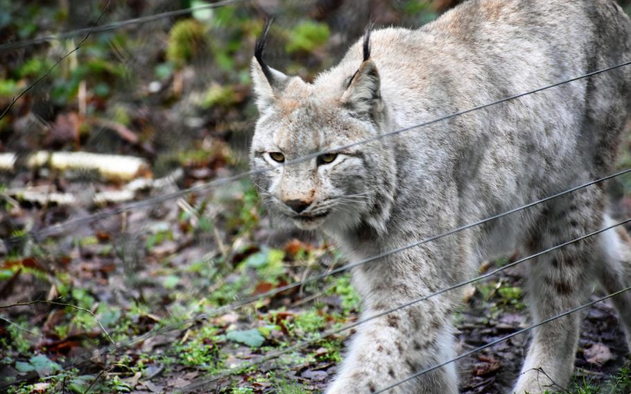 Wildcats and wolves are among the more interesting animals  at Wildpark Alte Fasanerie in Hanau, Germany.