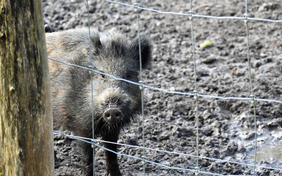 An enormous enclosure teeming with wild boar is one of the more raucous areas of Wildpark Alte Fasanerie in Hanau, Germany. The animals eagerly approach visitors and compete aggressively amongst themselves for the park-provided handfuls of food.