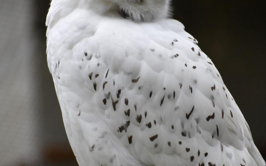 A snowy owl perches in its enclosure at Wildpark Alte Fasanerie in Hanau, Germany. While much of the park is turned over to deer, buffalo and wild pigs, exhibits near the front entrance display birds, foxes and other smaller animals.