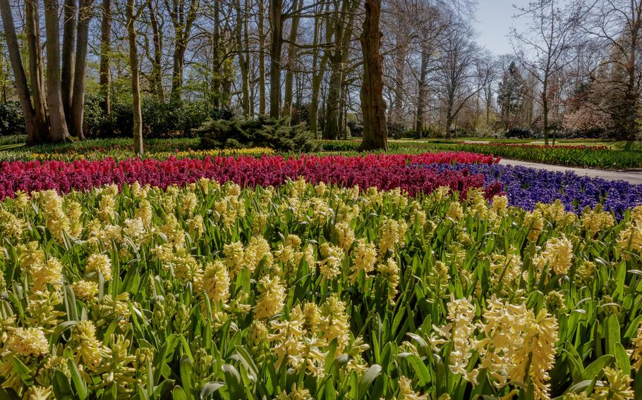 Hyacinths bloom at Keukenhof, the famed flower garden on the outskirts of Lisse, Netherlands. Keukenhof is closed to the public this year because of the coronavirus pandemic. The flowers can be seen in videos produced by Keukenhof that can be found on their website or on YouTube.