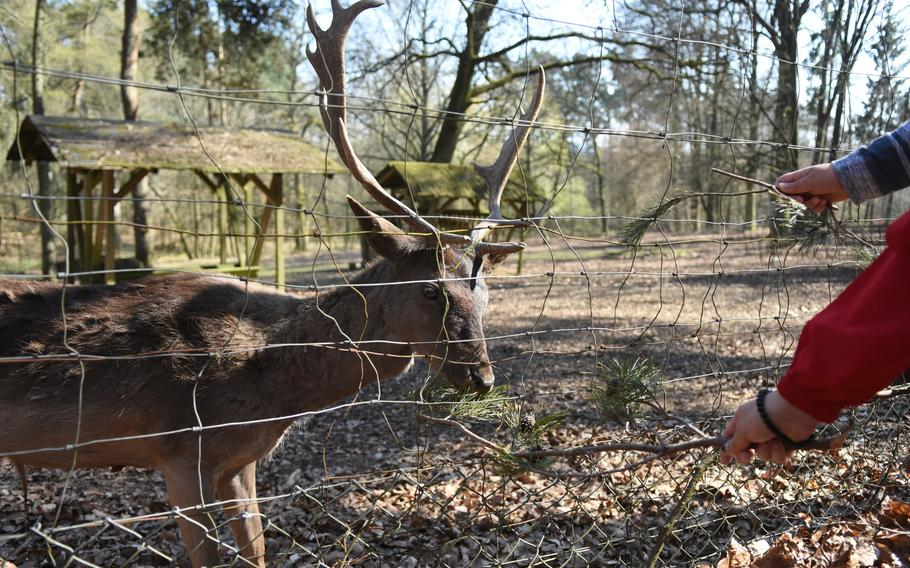 A deer in a small reserve in the woods between the Seewoog in Ramstein-Miesenbach and the village of Mackenbach nibbles on a snack of pine needles offered through the fence.