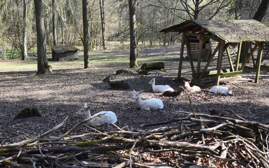 A hike through the woods between the Seewoog in Ramstein-Miesenbach and Mackenbach village in Germany leads past a small enclosure with deer.