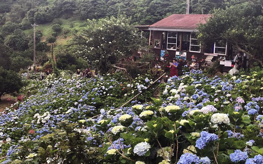 The Yohena Hydrangea Garden in Motobu, Okinawa, seen here on June 11, 2020, is the perfect medicine for the coronavirus lockdown blues.