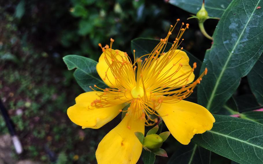 The colorful bloom of a Saint John's wort is seen at Yohena Hydrangea Garden in Motobu, Okinawa, June 11, 2020.