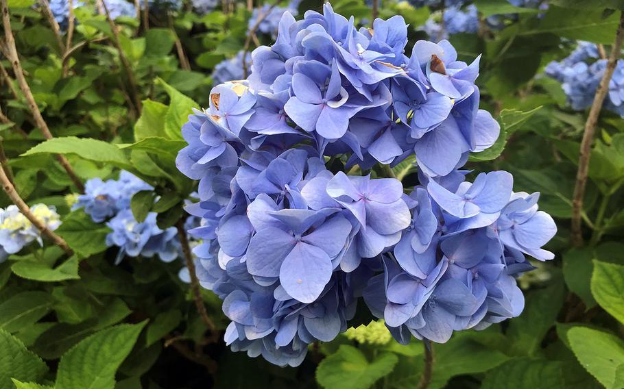 A blue hydrangea blooms at Yohena Hydrangea Garden in Motobu, Okinawa on June 11, 2020.